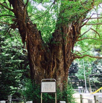 赤坂氷川神社のイチョウ