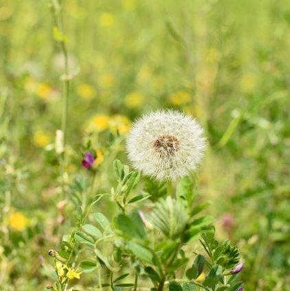 石神の菜の花畑