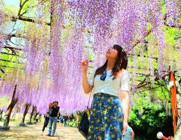 【関西・日帰り・ドライブデートにおすすめ!】日本一の藤の絶景を見に藤公園へ行こう!