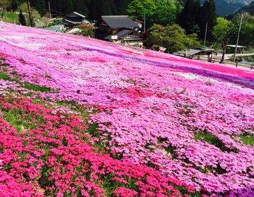 【2016年GWに岐阜へ行くべきたった1つの理由】満開の國田家の芝桜を見に行こう!
