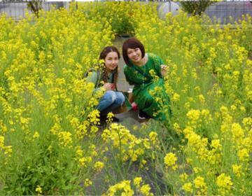【入園無料!菜の花やチューリップが咲いてます】山梨おすすめ観光スポットハーブ園へ!