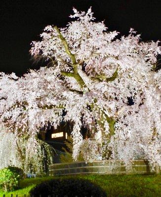 円山公園 枝垂桜