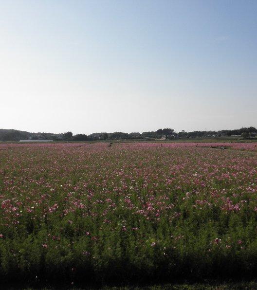 益子町 コスモス畑