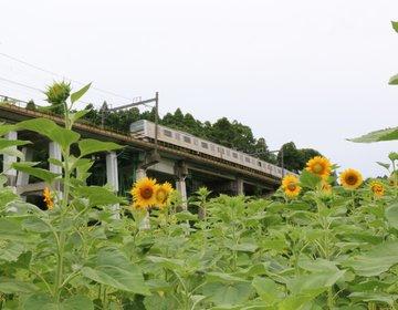 夏だ!ひまわりを見に行こう♪大網白里市農村ふれあいセンター前は穴場中の穴場!