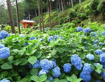 ☆約50種類、一万株もの紫陽花が咲き誇る~!!京都の紫陽花の名所☆三室戸寺☆