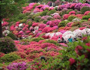 桜の次はここ!根津神社の文京つつじ祭りで色に包まれる