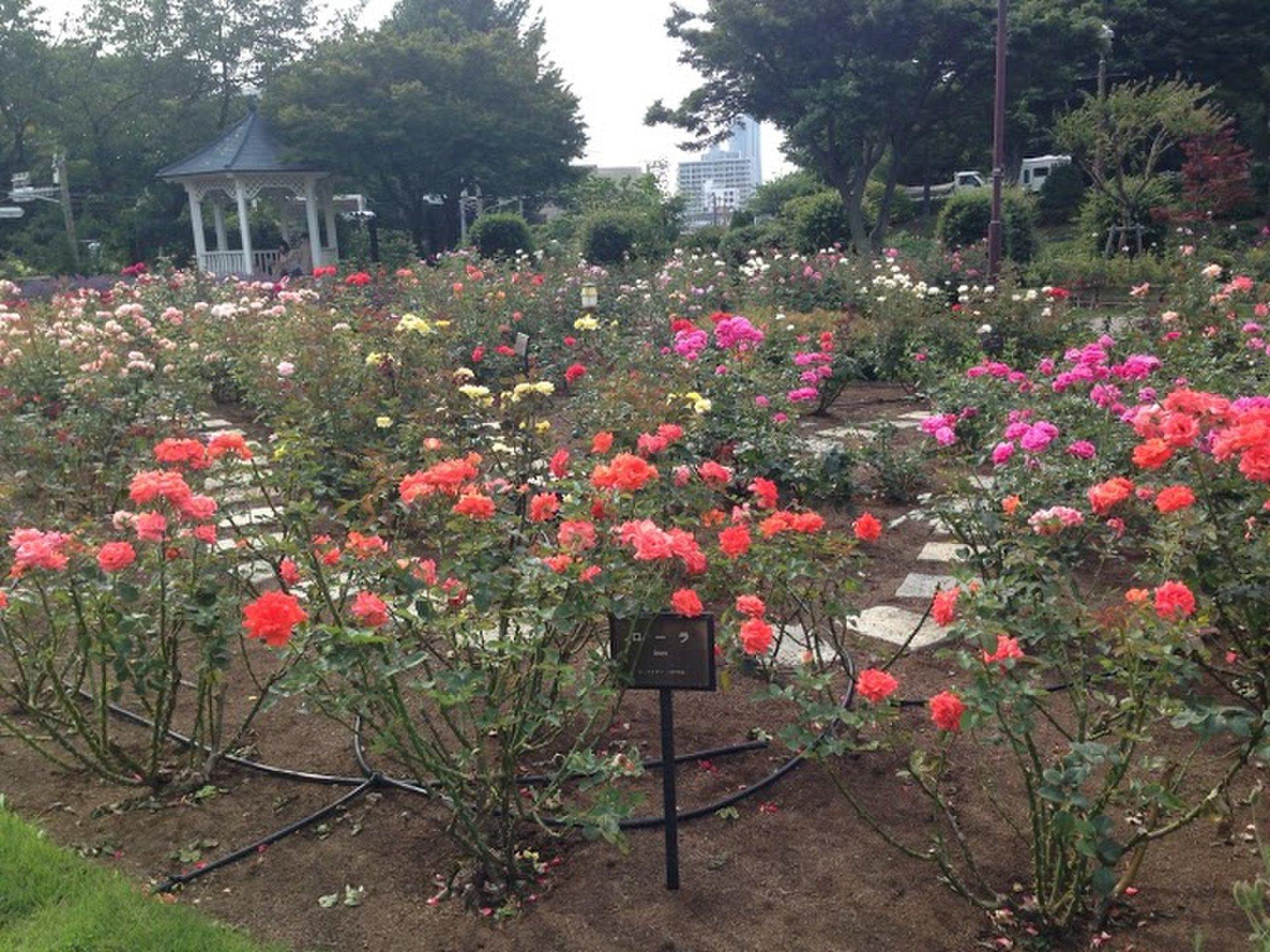 横浜みなとみらいのデートスポット港の見える丘公園へ!バラが見ごろのおすすめ情報!