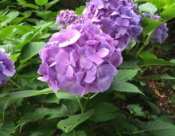 【都内近郊】初夏の花の名所❤︎あじさい・しょうぶ・ゆり❤︎お好みでどうぞ♪
