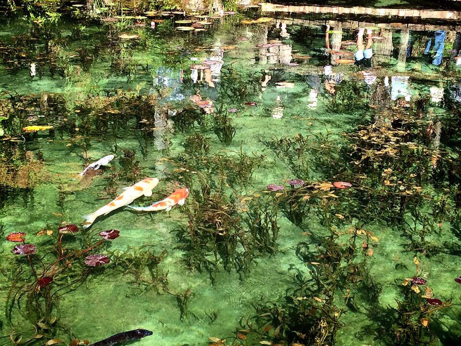 岐阜県・モネの池のアクセスや見頃は?周辺観光スポット情報も!