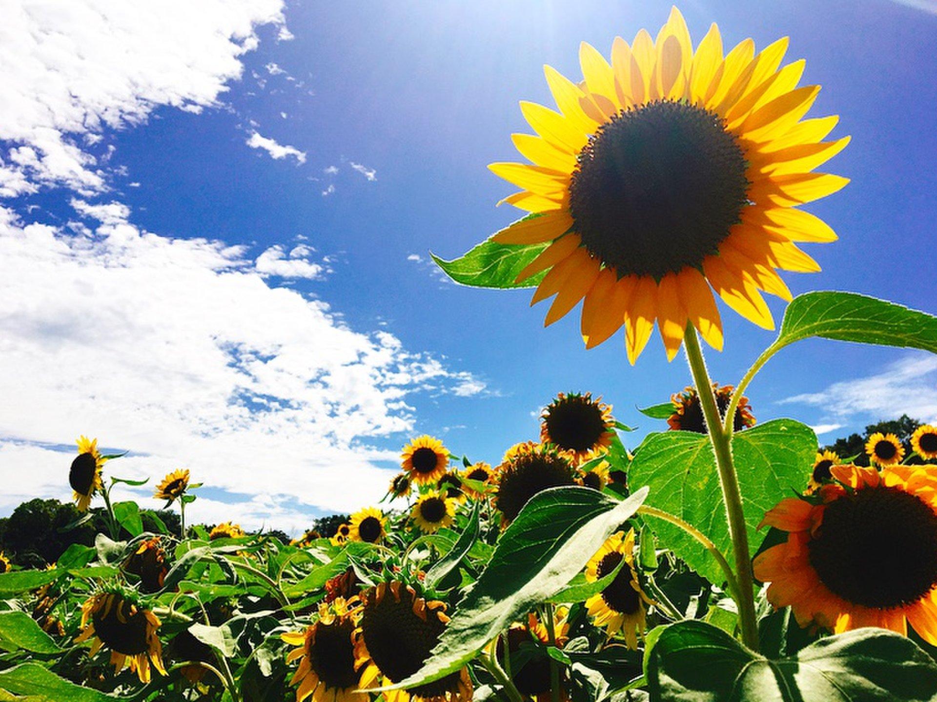 このスケールで無料?信じられない!夏の向日葵がフォトジェニックを演出「あわじ花さじき」