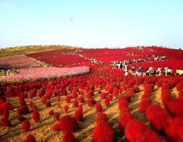 """【なんじゃこりゃ!?】珍しい絶景紅葉が見れる""""ひたち海浜公園""""は一日中いても飽きない!"""
