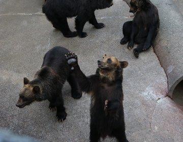 【昭和新山】人慣れした熊にエサやりが楽しすぎる!大人も大興奮の昭和新山熊牧場。