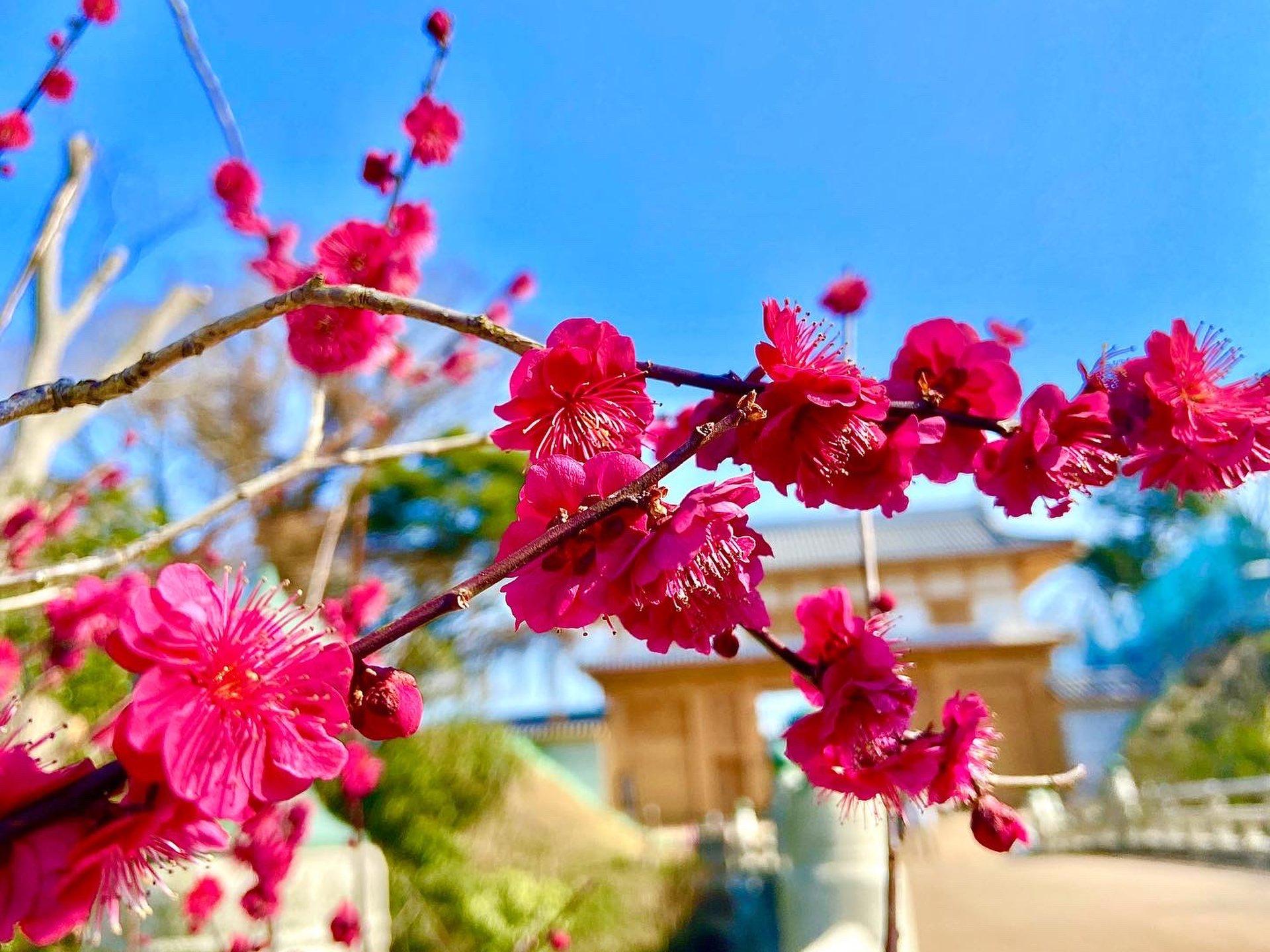 今すぐ行こう日帰りで♪茨城県の水戸の梅が満開過ぎて行くしか♡おすすめカフェもご紹介