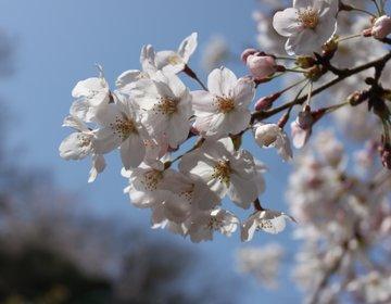 【神奈川・江の島】今年の春はどこに行こう?江の島は、意外に隠れたお花見スポットだった!