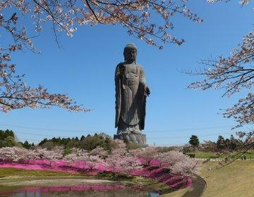 【茨城・牛久】インスタ映え!今年の春は桜と芝桜、そして牛久大仏♪帰りはアウトレットで楽しもう!