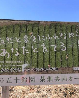 ぐり茶の五十鈴園(鈴木さんのお茶畑)