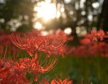 秋の花めぐるドライブ。コスモス*彼岸花*おいしいカフェに癒されてフル充電プラン
