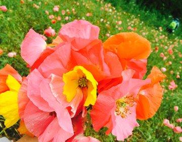 【無料】女子なら一度はしたいお花摘み♡100万本のポピーが摘み放題【都心から1時間・くりはま花の国】