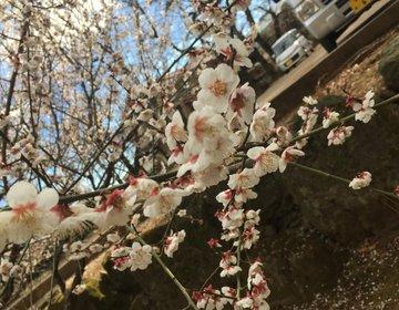【東京でいち早くお花見】豪徳寺でまったりおさんぽデートしよう♡
