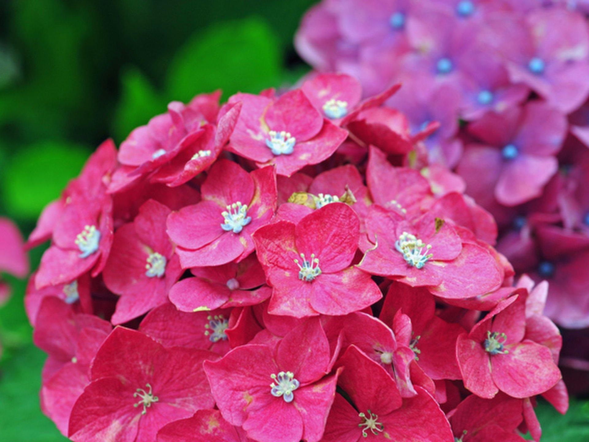 【可以從東京中心右轉·在市區推薦的繡球花斑點特徵】不喜歡感覺日本的氣氛的繡球花嗎?
