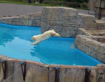 【札幌】都会のオアシス!いつ行っても違う表情が見れる!円山動物園のホッキョクグマ親子に会いに行こう!